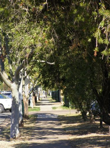 Anzac Parade Trees : 11- August-2015