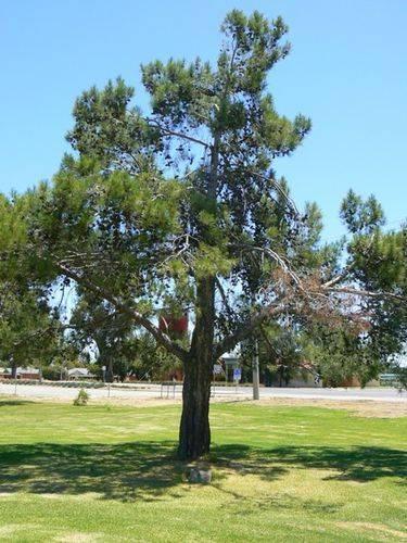 Aleppo Pine : 28-December-2010