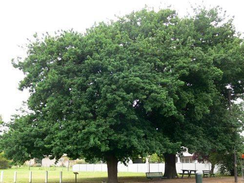 Relief of Mafeking Tree