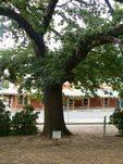 Albert Tree