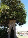 Jimmy Crow Tree