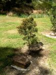 John Denver Tree
