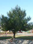 Lone Pine Memorial : 21-July-2012